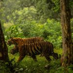 India, the end of the end of the Tiger Tiger killings